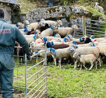 L'heure du déconfinement pour les troupeaux !